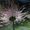 Prairie Smoke, Old Man's Whiskers, Three Flowered Avens
