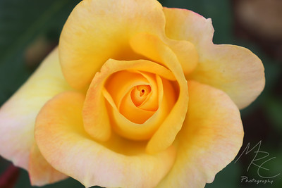 Orange Rose (top view)
