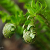 Fiddleheads of a Fern