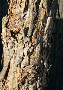 Textured Peeling Bark of Pepper Schinus Molle Tree