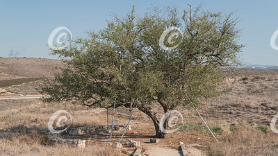 The Ancient Mythical Ghost Tree of Tel Lachish in Israel