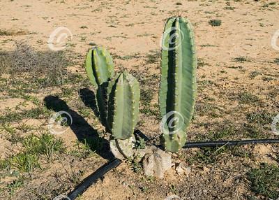 Cereus Cactus in Cultivation
