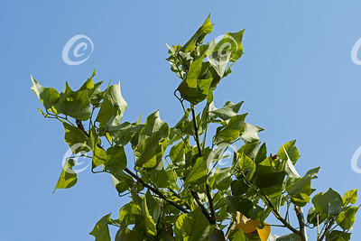 New Growth Leaves at the Top of a Coral Tree