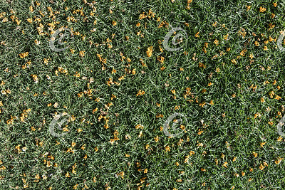 Section of a Dwarf St Augustine Grass Lawn Strewn with Flower Petals