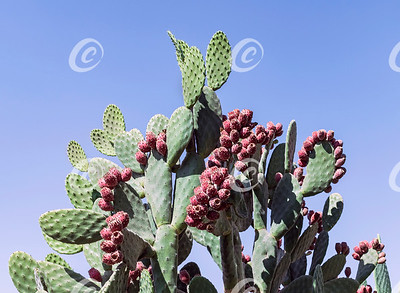 Velvet Prickly Pear Cactus Loaded with Fruit against a Blue Sky