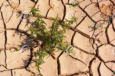 Thistle in Dry Cracked Desert Mud