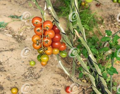 Greenhouse Cherry Tomatoes