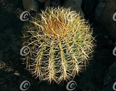 Young Golden Barrel Cactus Specimen in Golden Hour Light