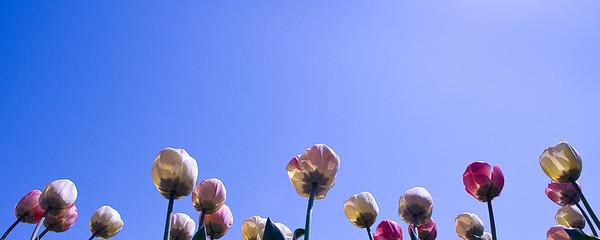 Tulips - sun worshipers