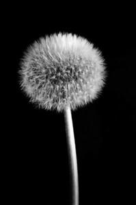 Dandelion - beautiful