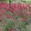 Hesperaloe parviflora 'BRAKELIGHT'