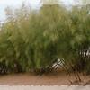 Otatea acuminata aztecorum