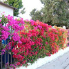 Bougainvillea (mixed colors)