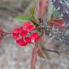 Euphorbia milii - flower
