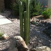 Pachycereus_marginatus_Mex_Fence_Post
