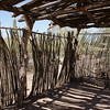 Fouquieria splendens - fence