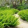 Asparagus densiflorus 'Meyers'
