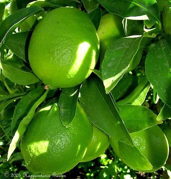 Citrus Lime 'Bearss'