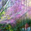 Muhlenbergia reverchonii - flower