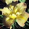 Iris PCH hybrid 'Yellow'