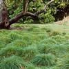 Carex tumulicola (divulsa)