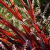 Cordyline 'Festival Grass' - flower