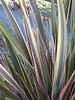 Phormium tenax 'Rainbow Surprise'