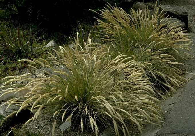 Calamagrostis foliosus
