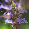 Salvia sonomensis - flower