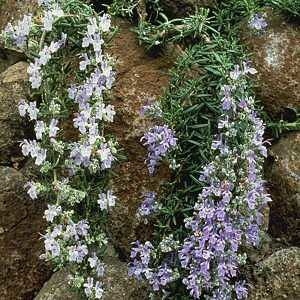 Rosmarinus officinalis 'Lockwood de Forest'
