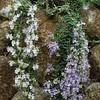 Rosmarinus officinalis 'Lockwood de Forest'