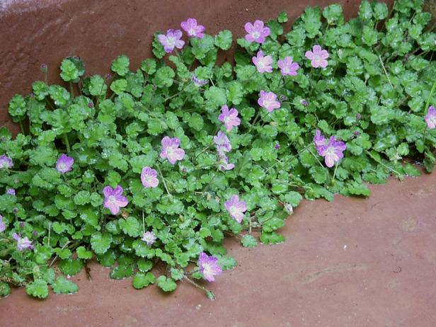 Erodium x variabile