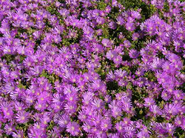 Lampranthus (purple)