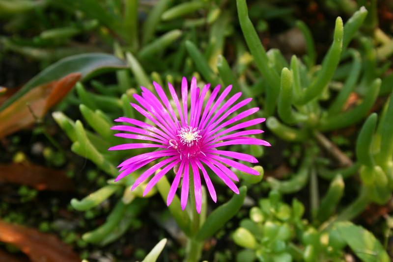 Lampranthus roseus - flower