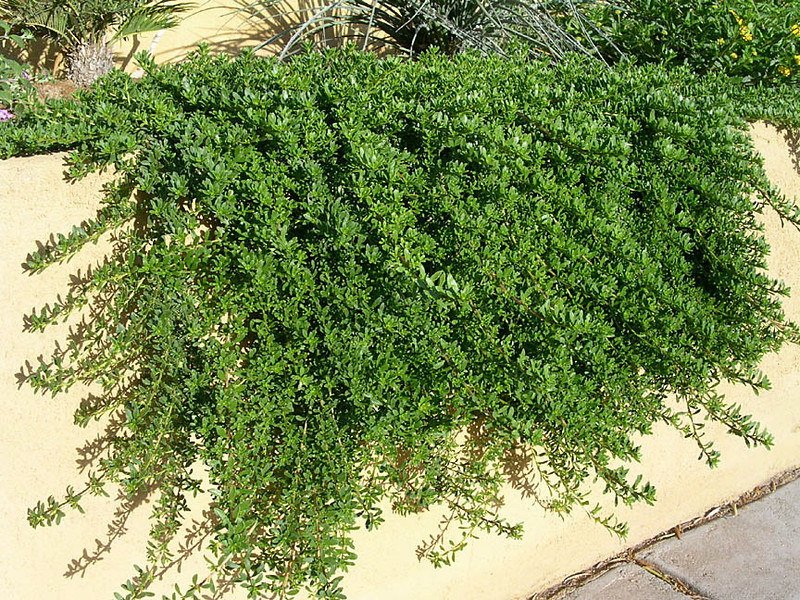 Myoporum parvifolium - foliage