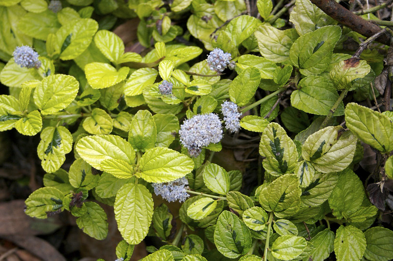 Ceanothus griseus horizontalis 'Diamond Heights' - flower