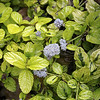 Ceanothus griseus horizontalis 'Diamond Heights' - flower