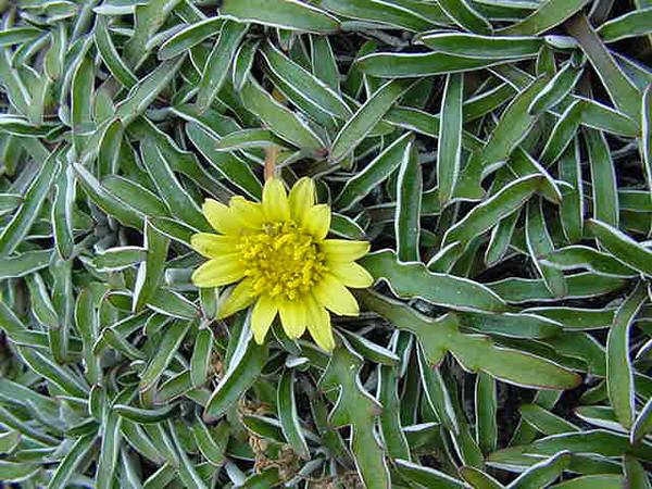 Dymondia margaretae - flower