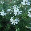 Westringia fruticosa 'Mundi'