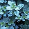 Ceanothus griseus horizontalis - foliage