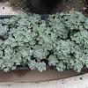 Sedum spathifolium 'Cape Blanco'
