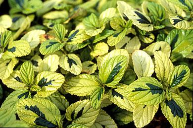 Ceanothus griseus horizontalis 'Diamond Heights' - foliage