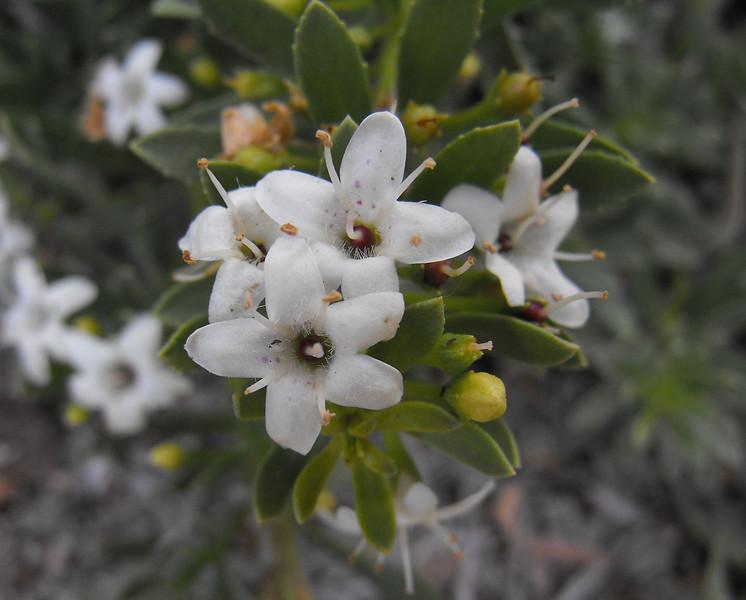 Myoporum parvifolium - flower