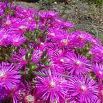 Lampranthus ssp. - flower