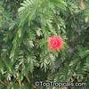 Calliandra haematocephala_FLOWER
