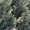Podocarpus elongatus 'Icee Blue'