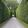 Ficus nitida_hedge II