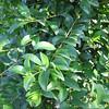 Eugenia leaf