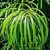 Podocarpus_henkelii_leaf