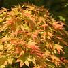 Acer palmatum 'Sngo Kaku'